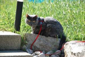 Queen Mary mit Katzengeschirr im Garten - Mai 2011