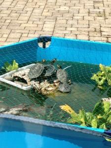 Gelbwangen-Schmuckschildkröten