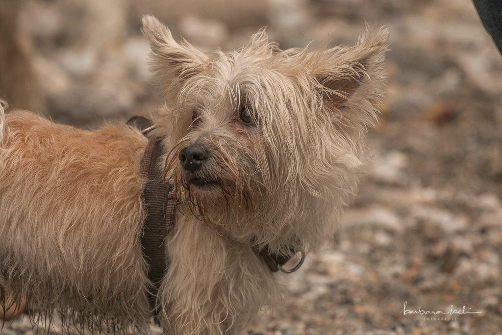 Tibet Terrier im Verzasca-Tal